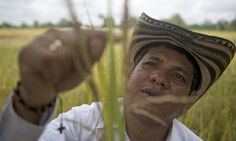 Colombia's rice farmers were already struggling with climate change and unfair trade rules when . Colombian People, Indian Look, Climate Change, California, Arkansas, Farmers, Thailand, Texas, Science