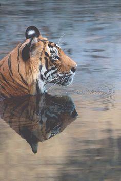 tiger. my favorite animal.