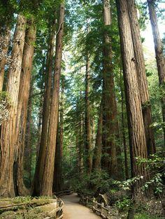 Muir Woods ... California Redwoods!