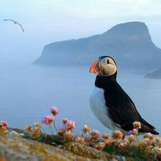 beautiful Puffin surrounded by beautiful nature. Cute Birds, Pretty Birds, Beautiful Birds, Animals And Pets, Cute Animals, Puffins Bird, Sea Birds, Little Birds, Otter