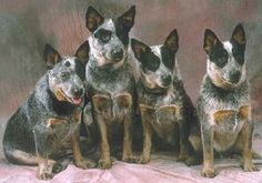 Cattle Dogs, I Love these animals! The BEST dog we ever had!!