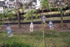 Training a fruit tree: Water bottles tied on string - a technique to lower vertical branches and bring them down to more of a horizontal position, in the hopes of encouraging fruiting action. Note: don't overload bottles with water, young branches can snap while smug gardeners are tucked up in bed asleep. Not a comforting sight to wake up to the following morning!