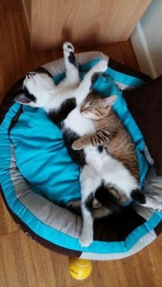 Funny Lazy Cats that can sleep anytime anywhere 9 - Adorable Cats and Cute Kittens - Katzen Animals And Pets, Baby Animals, Funny Animals, Cute Animals, Animals Images, Cute Kittens, Cats And Kittens, Ragdoll Kittens, Kitty Cats