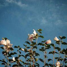おはよーございます。  アオゾラ土曜日。 芙蓉が最後の力振り絞り でも楽しそうに天を仰いで。  爽やかな日を。   #sky #autumn #flower #空 #秋 #花
