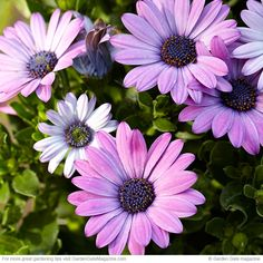 Cape Daisies-Side Show™ Purple      Side Show Purple's vigorous daisylike flowers stay open on cloudy days. The Side Show series, with varieties like Yellow, White and Copper Apricot, also has a compact habit, growing 10 to 14 in. tall and 12 to 16 in. wide.