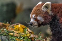 little... by Ralf Markert on 500px. Red Panda