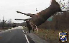 Accident entre un cerf et une voiture de police [video] - http://www.2tout2rien.fr/accident-entre-un-cerf-et-une-voiture-de-police-video/