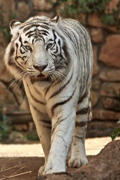 Has and always will be my favorite animal. Big Animals, Majestic Animals, Cute Baby Animals, Tiger Art, Tiger Cubs, Tiger Tiger, Bear Cubs, Beautiful Cats, Animals Beautiful