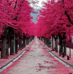 Pink trees in Madrid