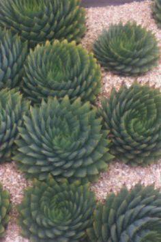 Succulent Garden - Copperweeds ?