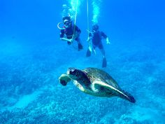 Sea Turtles of the Carribean, please come see me this week in Grand Cayman!