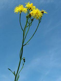 Škarda dvouletá  Crepis biennis