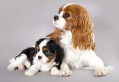 Cavalier King Charles Spaniel is a small breed of spaniel, and Cavalier adults are often the same size as adolescent dogs of other spaniel branches. Description from ghfkr.blogspot.com. I searched for this on bing.com/images