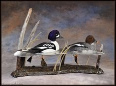 goldeneyes-taxidermy-mount