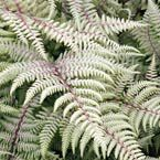 "Ghost Fern Soft Fronds with Well-Defined Texture and Color  Ghost Fern's maroon midribs and frosted leaflets brighten up cool shady spots. Plant together with Ghost Fern and Brilliance Autumn Fern for an elegant background or for graceful ground cover. Use them as a splash of greenery in cut-flower arrangements. Light: Full to partial shade Height: 18-36"" Zones: 3 to 8"