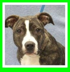 CHARRO is an adoptable Pit Bull Terrier Dog in Marietta, GA. Charro is a very sweet, playful young girl who knows sit, and walks nicely on a leash. She came into the shelter as a stray on 1/26/13 and...