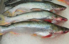 Confira os 7 tipos de peixes que você deve evitar comer