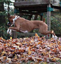 Boxer vs. Leaves