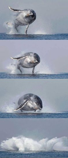 40 tons of humpback whale completely airborne can cause quite the splash!