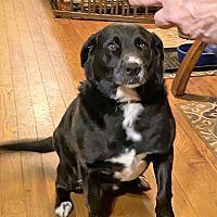New Hampshire, Pet Adoption, Manchester, Labrador Retriever, Meet, Babies, Dogs, Animals, Labrador Retrievers