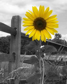 Sunflower Decor, Yellow Sunflower Wall Art, Country/Farmhouse Wall Art Matted Picture - Yellow Gray Wall Art by LittlePiePhotoArt on Etsy - Yellow Wall Art, Grey Wall Art, Yellow Walls, Images Murales, Sunflowers And Daisies, Farmhouse Wall Art, Country Farmhouse, Sunflower Pictures, Art Mat
