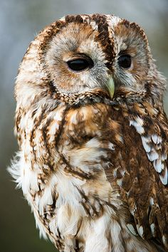 """""""Owl are you, Mr. Tawny Ow l? Beautiful Owl, Animals Beautiful, Cute Animals, Wild Animals, Owl Bird, Pet Birds, Strix Aluco, Owl Pictures, Owl Photos"""