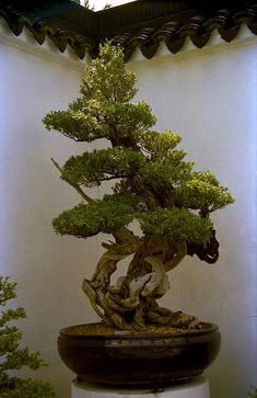 Bonsai I,Suzhou-style Bonsai Garden,Singapore. Ikebana, Mini Jardin Zen, Plantas Bonsai, Bonsai Garden, Bonsai Trees, Miniature Trees, Arte Floral, Growing Tree, Small Trees