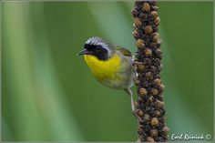 Common Yellowthroat on Mullein | Flickr - Photo Sharing!
