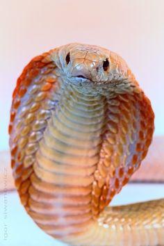 Albino Monocle cobra | Photo.net