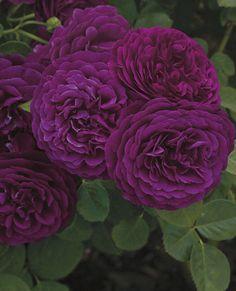 """Twilight Zone"" Rose. Fragrance is combo of spicy clove and lemony citrus. Gorgeous!! #boxwoodnursery bwnursery.com #woodland"