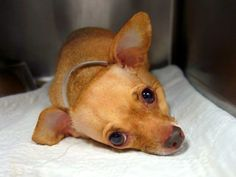 SAFE --- Manhattan Center    MILLIE - A0997603    FEMALE, TAN / WHITE, CHIHUAHUA SH MIX, 5 yrs  OWNER SUR - EVALUATE, NO HOLD  Reason MOVE2PRIVA   Intake condition NONE Intake Date 04/23/2014, From NY 10463, DueOut Date 04/23/2014,    Original thread: https://www.facebook.com/photo.php?fbid=793328117346736&set=a.617938651552351.1073741868.152876678058553&type=3&permPage=1