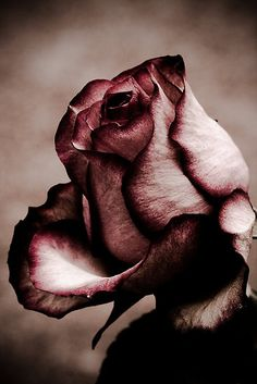 """But he who dares not grasp the thorn  Should never crave the rose"" -Anne Brontë"