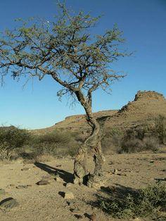 The walking tree _ Namibia