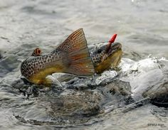 1001 fly fishing tips Fly Fishing Tips, Fishing Pictures, Gone Fishing, Trout Fishing, Kayak Fishing, Fishing Places, Fishing Basics, Fishing Tricks, Fishing Girls