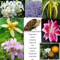 Make Hydrosol the Simplers Herbalist Way - Anya's Garden Natural Perfumes Geraniums, Natural Healing, Shrubs, Planting Flowers, Lavender, Lily, Perfume, Teas, Apothecary