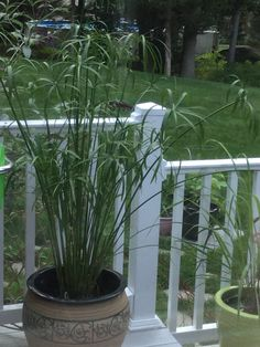 Umbrella sedge plant was 5 inches tall when I bought this,now look at it,amazing how fast it grew