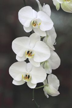 white orchids - if you wanted to add a subtle beachy touch. Plus they would look good draping over on the hanging piece Exotic Flowers, Love Flowers, White Flowers, Beautiful Flowers, Orchid Wallpaper, Hawaiian Plants, Artificial Orchids, Flower Garden Design, Orchidaceae