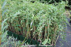 nuestras plantas a la venta: http://www.plantamus.es/comprar-frutales/comprar-planta-de-pequenos-frutos-/comprar-planta-de-goji-lycium-barbarum