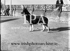ie irishphotoarchive historic images, German Shepherd 'Koleen of Wolfhill' winner of Best in Show, Bray Dog Dog Show, Photo Archive, German, Horses, Gallery, Dogs, Animals, Image, Deutsch