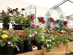 The judges presented Apuldram Roses with a Silver Medal. Apuldram Roses exhibit is pictured inside The Festival of Roses Marquee, at the RHS Hampton Court Palace Flower Show Hampton Court Flower Show, Rhs Hampton Court, Tea Rose Perfume, Garden Arbor, David Austin, Tea Roses, Real Flowers, Beautiful Roses, Palace