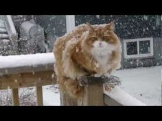 Our Murchyk cat in a snowy day  #cat #Murchyk