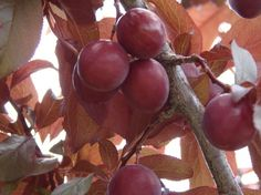 Lots of recipes to use wild plums... Recipes to preserve them and in snacks, desserts, spreads, condiments and alcoholic drinks.