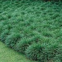 Reduce lawn, cover bare patches and solve the challenge of unsightly shade areas with a varity of groundcovers.  Check out the free clinics at Calloway's and Cornelius Nursery Texas garden centers for the schedule.  Get TNLA Texas Certified Nursery professionals to tell you what groundcovers work best in Texas.