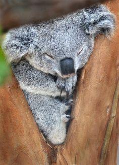 To conserve energy, koalas sleep 18 to 22 hours a day.-I don't know if that's true or not, but I wish I was a Koala
