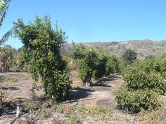 Trellised lemon trees upon which were planted fruit vines.  Trees to the right are one-year avocado.  The avocados   were interplanted between the old lemons in anticipation of their removal due to lack of production / exhaustion by over chemistry, age, disease (gumosis) and forced production, over watering etc of the old technology of orchard creation and maintenance. Things are much different today even from just fifteen years ago White Dove Passion Fruit Guava Farm…