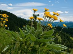 It was a Balsamroot day on Sauer's Mountain, WA 4/27/13