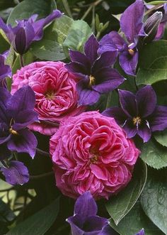 Roses and Clematis  ❀