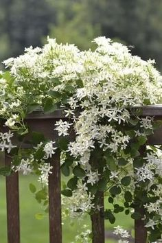 Sweet Autumn Clematis is a completely whimsical and enticing vine that can make any outdoor space attractive. Would like a split rail fence in front of house so could have autumn clematis and grape vines. Moon Garden, Dream Garden, Beautiful Gardens, Beautiful Flowers, Beautiful Gorgeous, Love Flowers, Sweet Autumn Clematis, White Gardens, Plantation