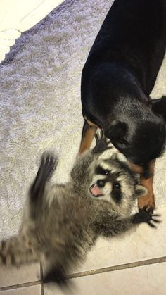 PsBattle: This shocked raccoon playing with a dog