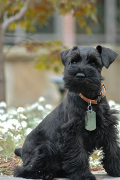 Raven, the adorable black mini schnauzer